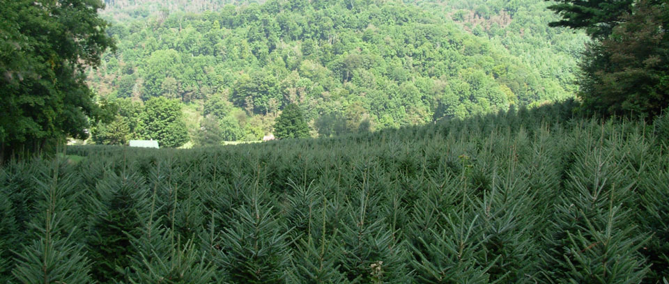 About Trees: Fraser Fir Christmas Tree - Christmas Tree Farms In NC - Fraser Fir Christmas Tree