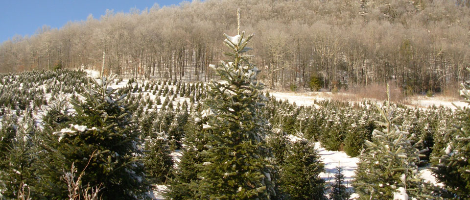 Christmas Tree Farm Asheville Nc.Caring For A Fraser Fir Christmas Tree Christmas Tree
