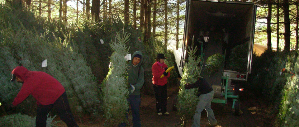 about trees fraser fir christmas tree - Christmas Tree Farms For Sale