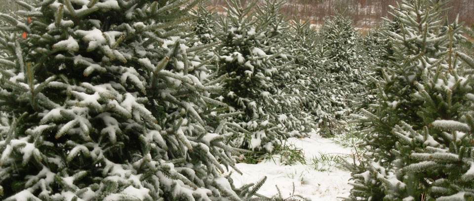 9ff9fef3fcf Fraser Fir Christmas Tree - NC Christmas Tree Farms